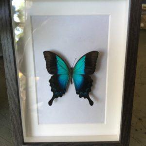 Kleine vlinder in zwarte lijst