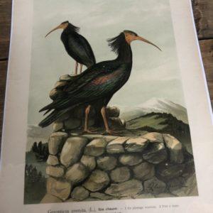 Prent van vogels uit de 19e eeuw