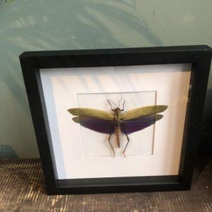 Grote paarse sprinkhaan