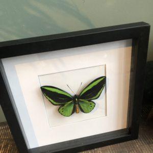 Grote groene vlinder in zwarte lijst