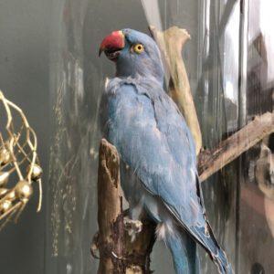 Schéine gréngen Parakeet an aler Glasglëssel