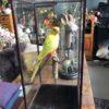 Mooi opgezet gele dwergparkiet in houten box