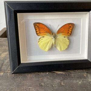 Mooie gele vlinder in zwarte lijst